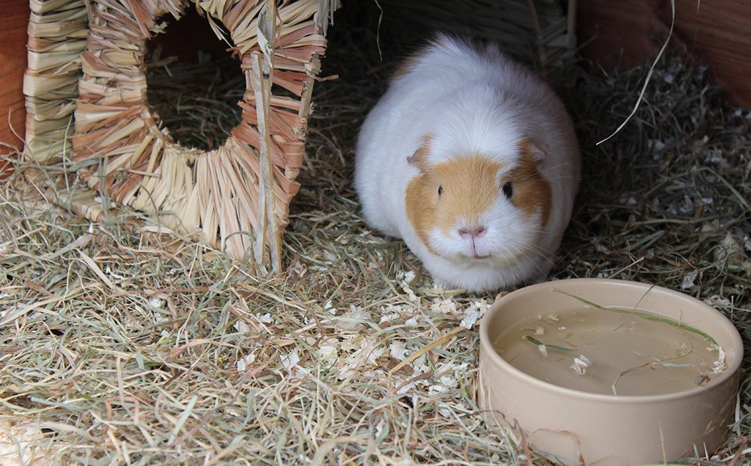 guinea pig water home