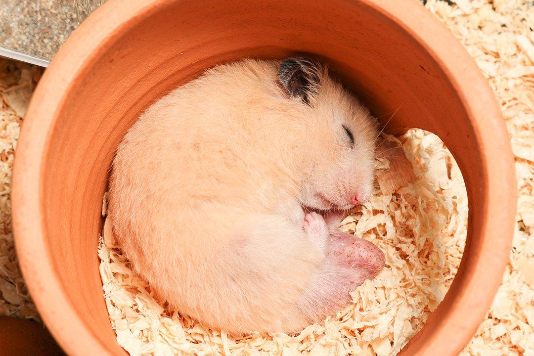 Hamster Sleep